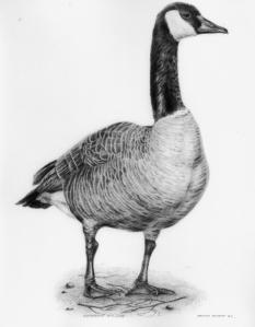 Canada Goose by Katerina Mayenfels