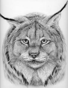Lynx by Katerina Mayenfels