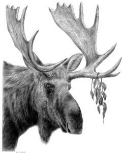 Moose by Katerina Mayenfels