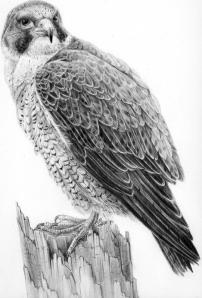 Peregrine Falcon by Katerina Mayenfels