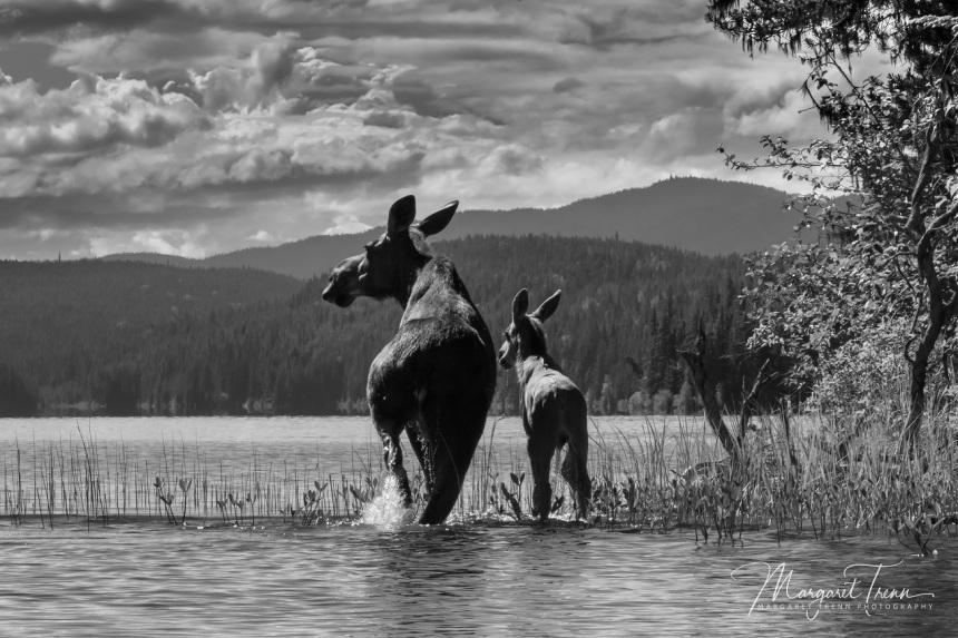 moose and calf - brown bear lake by margaret trenn